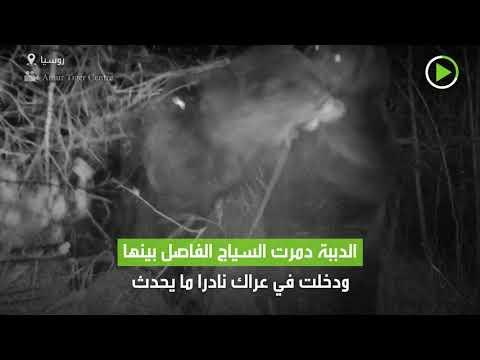 كاميرا مراقبة تُسجل لقطات نادرة لدبين يتصارعان ليلًا في روسيا