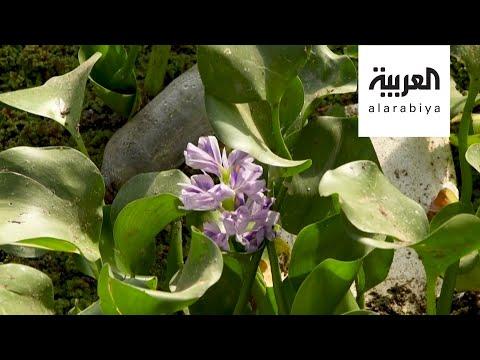 تعرّف على زهرة النيل الجميلة التي تهدد ثروة العراق السمكية
