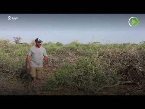 الملايين من حشرات الجراد الصغيرة تتجمع في صحراء كينيا